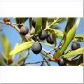Olive Seeds