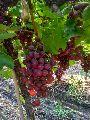 Fresh Flame Grapes