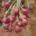 Sambar Onions