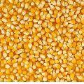 Natural Maize Seeds