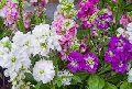 Fresh Lavender Cut Flowers