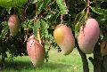 Fresh Amrapali Mango