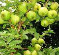 Baruipur Guava Plants