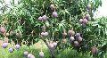 Black Mango Plants