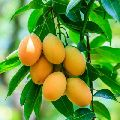 Himsagar Mango Plants