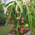 Plain Dragon Fruit Plants