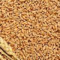 Hybrid Wheat Seeds