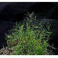 Dried Bermuda Grasses (Cynodon dactylon)