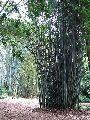 Bamboo Plant_Bambusa Tulda