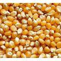 Natural Yellow Maize Seeds