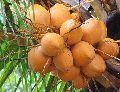 Brown Tender Coconut