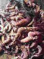 Sea Tiger Shrimps