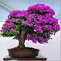 Bougainvillea Flower Plant