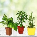 Wish Good Luck Planter Set of Money Plant, 2 Layered Bamboo Tree and Holy Tulsi Plant