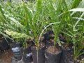 Date Palm Tissue Culture Plant
