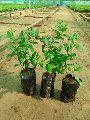 Pomegranate Tissue Culture Plant
