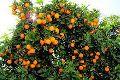 Orange Plant Growth Regulator