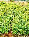 Hybrid Amla plant