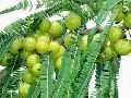 Tissue Culture Amla Plants