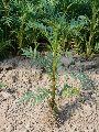 Marigold Plants Kolkatti