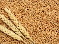 Karan Vandana Wheat Seeds