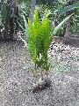 Coconut Seedling Plants ( Cocos Nucifera )