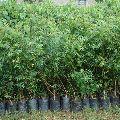 Natural Neem Plant