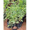 Pala Chiku Plants