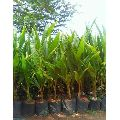 Desi Coconut Plants