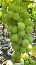 Thomson Seedless Grapes Indian