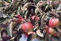 Fresh Hazratbal Apple