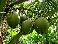 Fresh Green Coconut