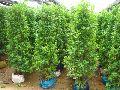 Ficus Panda Plants