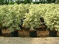 Dwarf Coconut Plants