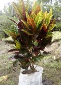 Codiaeum Rainbo,Ornamental