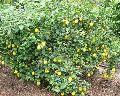 Thai Lemon Plants