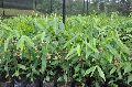Agarwood Plantation Consultancy Services