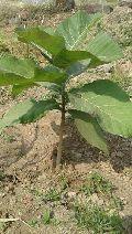 Burma Teak Plants