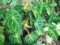 Anthurium Clarinervium  Shrub Plants
