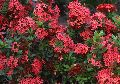 Ixora Coccinea Shrub Plants