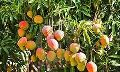 Paclobutrazol for Mangoes