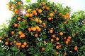 Paclobutrazol for Orange trees