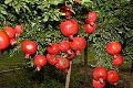 Paclobutrazol For Pomegranate Trees