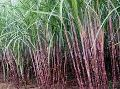 Paclobutrazol for Sugarcanes Growth