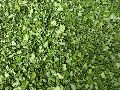 Moringa Dry Leaves