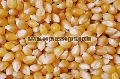 Human Feed Maize Seeds