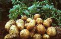 Pushkar Potato