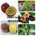Passion Fruit Plant