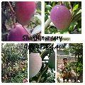 Purple Mango Plant