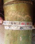 Balcooa Bamboo Plant